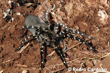 All spider species endemic to Madeira and Selvagens are now assessed for extinction risk by the IUCN SSC Spider & Scorpion Specialist Group